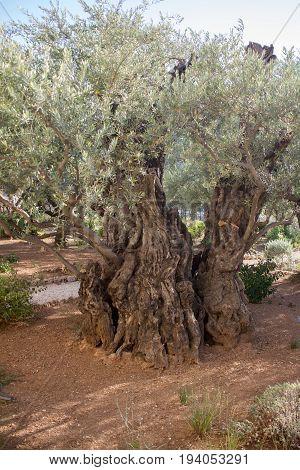 Garden of Gethsemane Thousand-year olive trees, Jerusalem