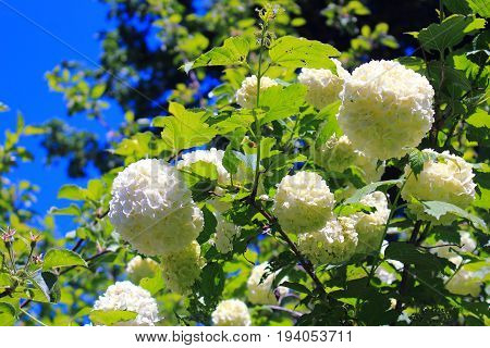 Hydrangea on the sky background. Hydrangea bouquet. Hydrangea white flowering bush in the garden. Shrubs flowering white caps. Flowers shrubs