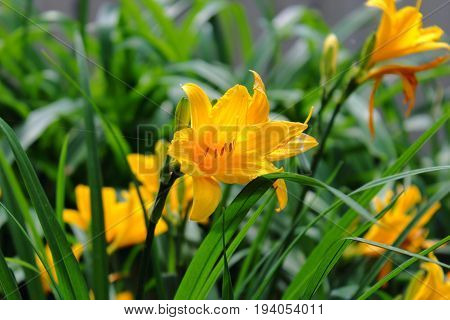 Yellow Lily growing in the garden. The garden plants. Care for a Lily garden. Garden plants and shrubs. Bouquet of yellow lilies