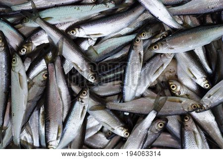 Fresh fish catch in Karelian Onego Lake
