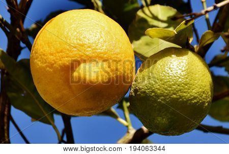Close up of yellow lemons on a tree