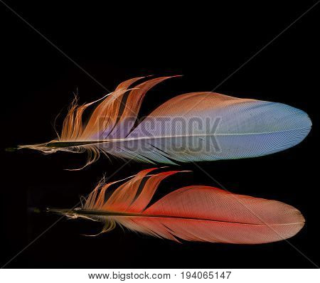 colored red and blue parrot feathers isolated