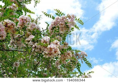Branches of blooming bush of robynia dubious (Robinia x ambigua) against blue summer sunny sky with white clouds, closeup