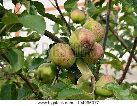 Ripening apples on branch of an apple tree in rural garden in summer residence