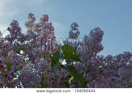 A blossoming flower of lilac. Horizontal orientation