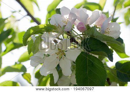 A Blossoming apple bush flower. Horizontal orientation. Outdoor