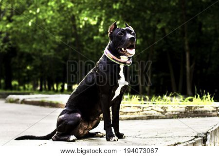 Portrait Black and white American pit bull terrier in a collar full height and smiles with tongue in the park.
