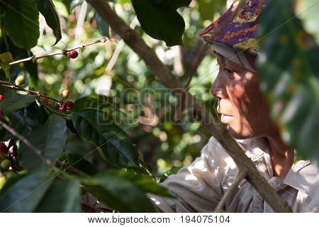 In The Mountains Of Northern, Thailand Woman Of The Akha Ethnic Group Gather Coffee