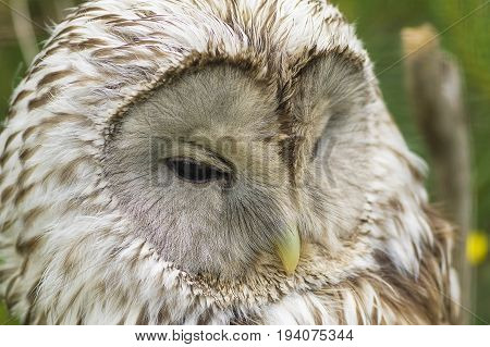Gray or Common Owl. Closeup portrait of a tawny owl Strix aluco in the woods. Stocky, medium-sized owl commonly found in woodlands across much of Eurasia poster
