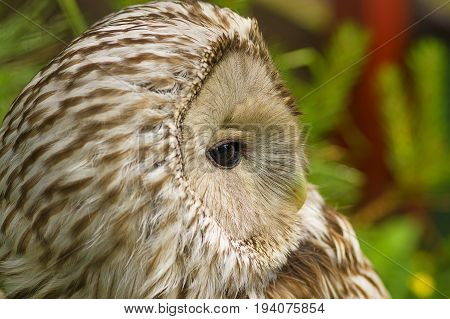 Gray or Common Owl. Closeup portrait of a tawny owl Strix aluco in the woods. Stocky, medium-sized owl commonly found in woodlands across much of Eurasia