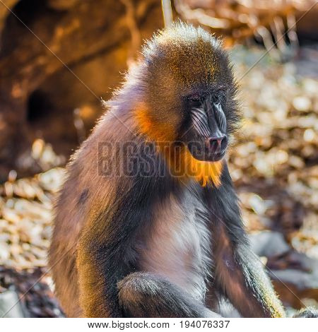 Portrait Of Young African Mandrill In The Open Resort