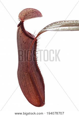 a pitcher plant Nepenthes - close up