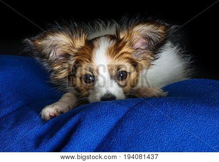 a cute papillon puppy  - close up
