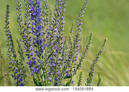 Natural Background (backdrop) With Steppe Purple Flowers