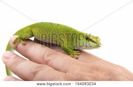 Phelsuma madagascariensis - gecko on a hand