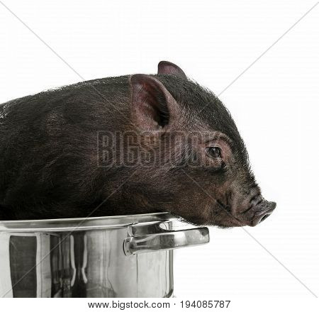 a cute little black  pig in a pot