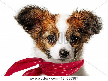 cute papillon puppy isolated over white background