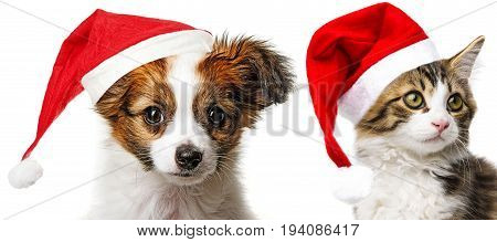 cute papillon puppy and cat with red santa cap