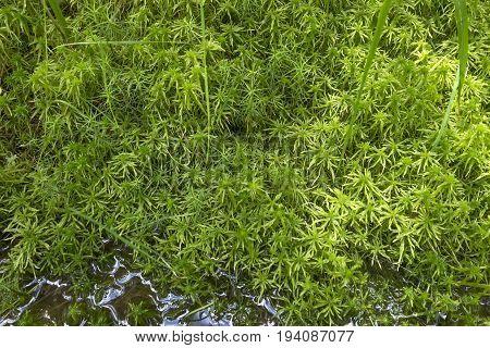 moss - Sphagnum - peat close up