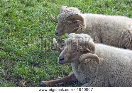 Two Horned Sheep Lying On Grass