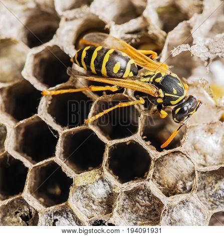 a wasp nest (Vespula vulgaris) close up
