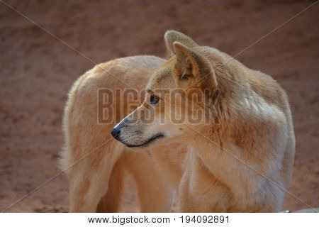 A standing dingo is staring at something