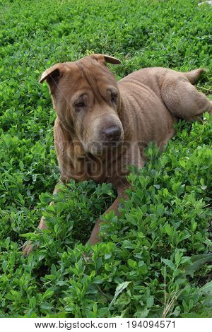 Old shar pei on green grass in garden
