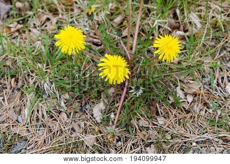 three yellow and beutiful Dandelion stand in the graas