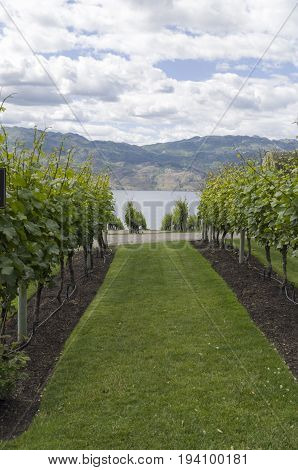 Vineyard in Kelowna BC with rows of grape vines headed down the toward Okanagan Lake