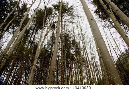 Look up in s forest at the tree tops.