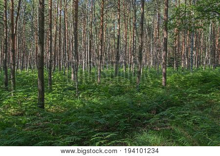 The photo shows a young pine forest. There are few birches among the pines. The ground is overgrown with ferns whose leaves form a green carpet.