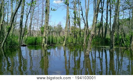 dead tree in flooded woodland with sky reflection