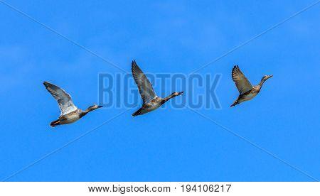 three gadwal Anas strepera ducks flying in a row