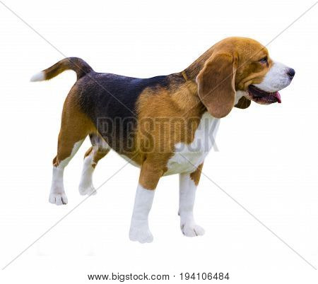 Beagle dogs portrait. Dog beagle. beagle dog isolated on white background