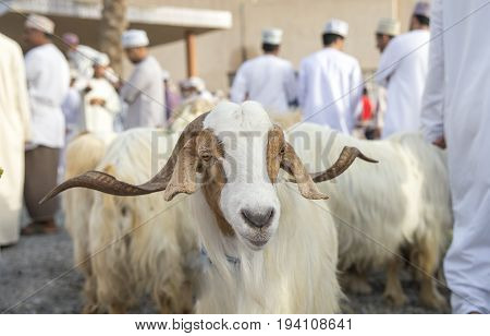 goats at Nizwa Habta Market in Oman