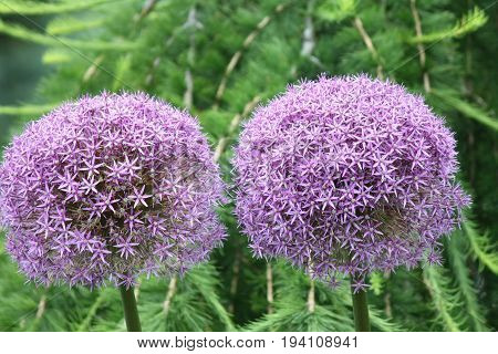 Alliums, also known as ornamental onions, are grown for their showy flower heads, which come in wide range of sizes and shades of blue, purple, white and yellow.