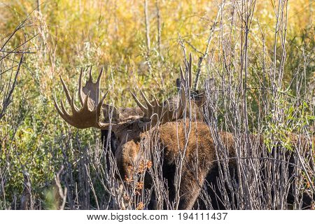 a bull shiras moose in thick brush in the fall rut