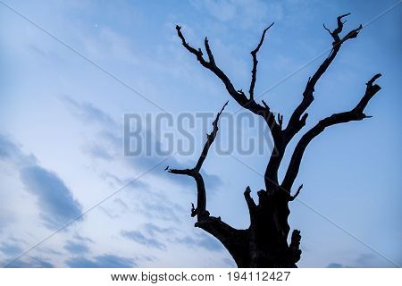 abstract silhouette dead tree against blue sky and clouds at dusk use for background in natural environment and global warming concepts