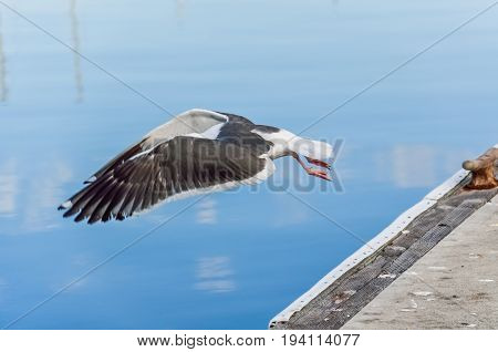 Seagull with stretched wings landing on calm water with boats reflection