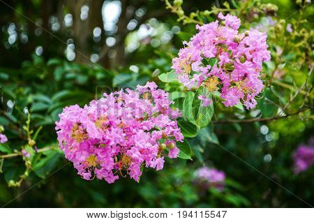 Closeup pink purple crape myrtle flowers also known as Lagerstroemia indica