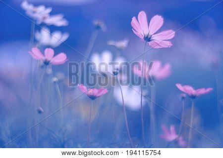 Purple cosmos flowers on dark blue background. Art summer soft image. Selective soft focus.