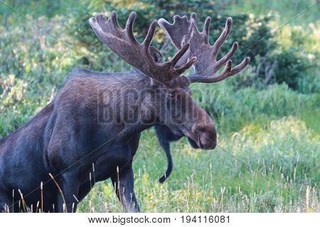 Shiras moose are wild animals in the Rocky Mountains of Colorado