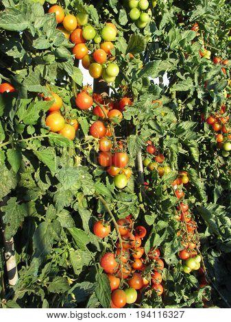 Tomato plants growing in the garden . Tomatoes ripen gradually . Tuscany Italy