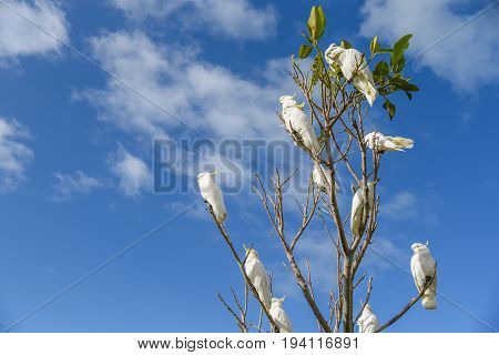 Group of white cockatoo perched on branch of tree with blue sky in background lovely wildlife animal in Australia