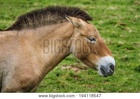 Equus przewalskii - a wild horse close up