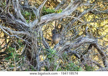 Closeup of Wrentit Chhamaea fasciata bird in Torrey Pines California