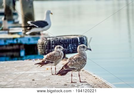 Herring western Seagulls standing on pier in Oxnard harbor with boats