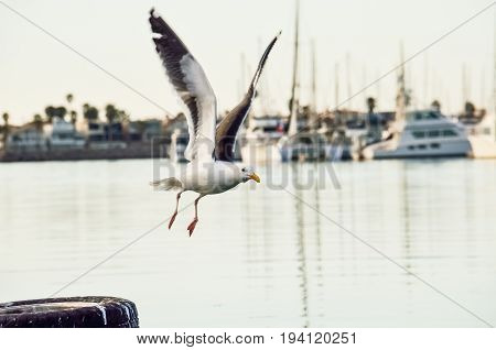 One seagull flying from pier in Oxnard harbor with boats