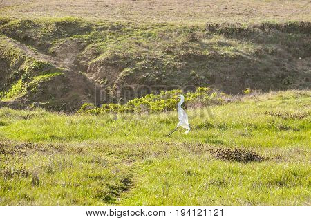 White Heron Egret Flying Over Seashore On Coast Of California.