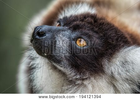 A very close photograph of the head of a black and white ruffed lemur showing eye detail and fur texture